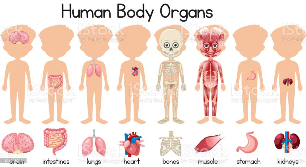 A Set Of Human Body Organs Stock Vector Art More Images Of Adult