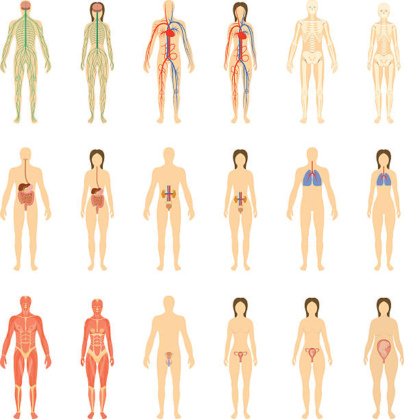 Set of human organs and systems Set of human organs and systems of the body vitality and pregnancy stages. Vector illustration. female likeness stock illustrations