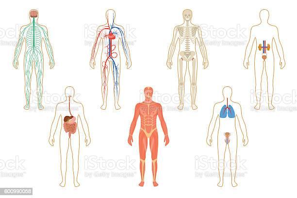 Set of human organs and systems vector id600990058?b=1&k=6&m=600990058&s=612x612&h=cz9uz8hi cgieg3bgkiidwdwb1iux b7rhgvm4lvqls=