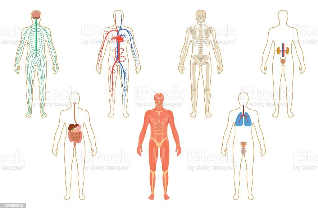 Set of human organs and systems vector art illustration