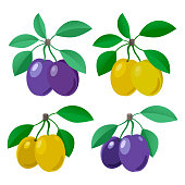 Vector plum. Set of colored icons with purple and yellow plums with leaves and without. Fruit. Vector illustration.