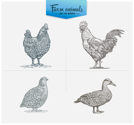 Set of illustrations of farm birds