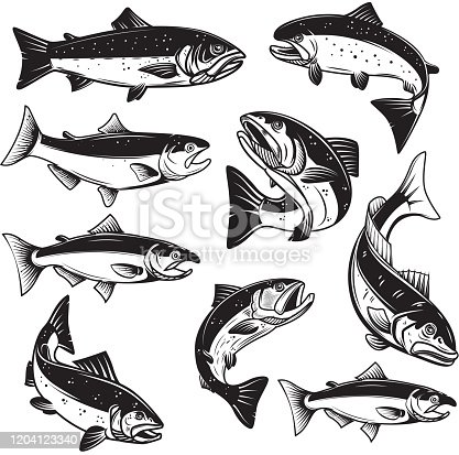 Set of Illustrations of salmon fish in engraving style. Design element for label, sign, emblem, poster. Vector illustration