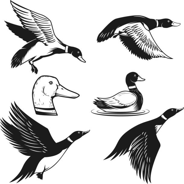 Set of illustrations of wild duck. Duck in flight, duck swimming on water. Design element for label, sign, poster, card, banner. Vector illustration Set of illustrations of wild duck. Duck in flight, duck swimming on water. Design element for label, sign, poster, card, banner. Vector illustration ducking stock illustrations