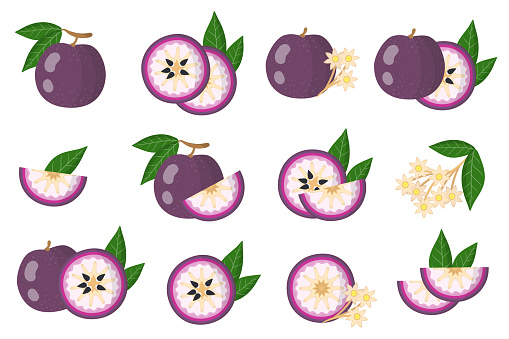 Set of illustrations with Purple star apple exotic fruits, flowers and leaves isolated on a white background.
