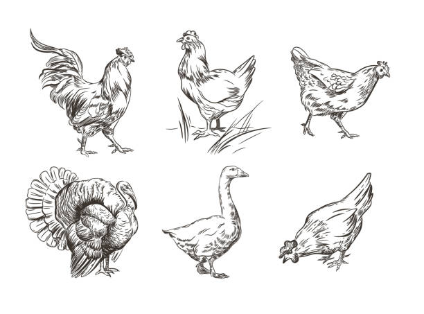 A set of images of domestic birds. Rooster, turkey, hens and goose. Sketch graphics. Vector image. Illustrations in the style of engraving. poultry stock illustrations