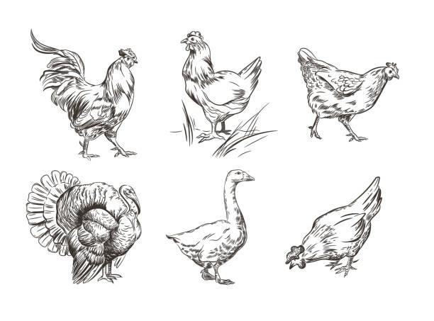 bildbanksillustrationer, clip art samt tecknat material och ikoner med en uppsättning bilder av tamfåglar. rooster, kalkon, höns och gås. skiss grafik. - hönsfågel