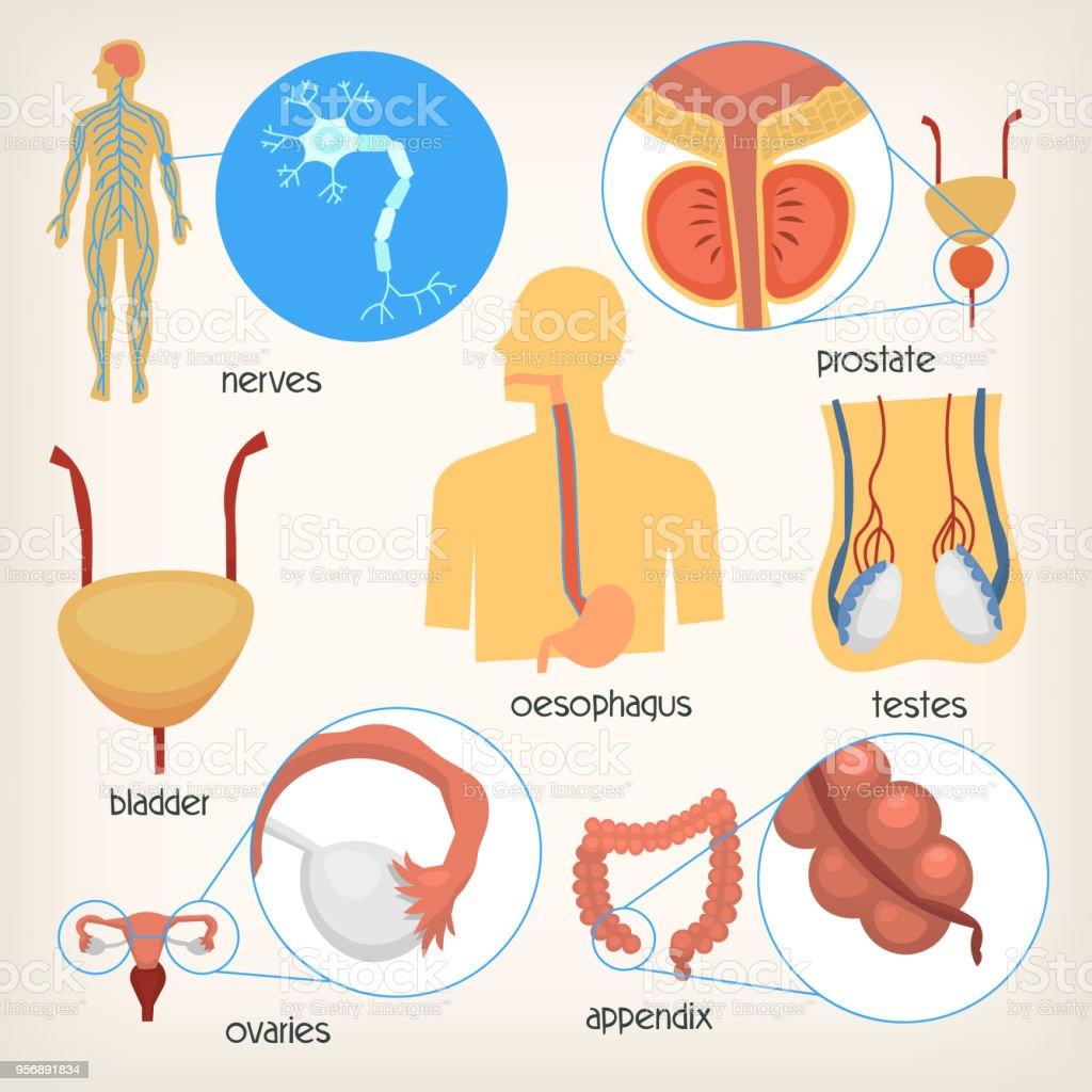 Ilustración de Conjunto De Imágenes De órganos Del Cuerpo Humano ...