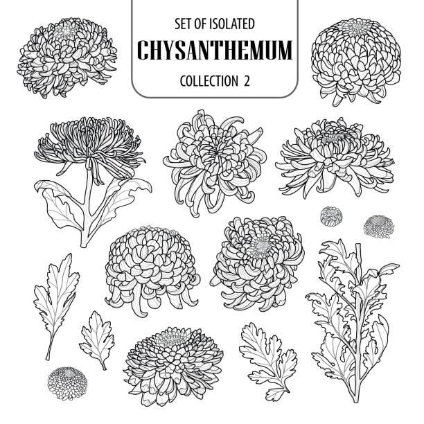 stockillustraties, clipart, cartoons en iconen met verzameling van geïsoleerde chrysant collectie 2. schattig bloem illustratie in de hand getrokken stijl. zwarte omtrek en wit vliegtuig op witte achtergrond. - chrysant