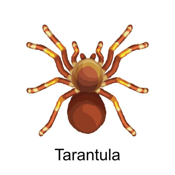 set of isolated dangerous pest spiders with toxic poison like tarantula or black widow, icons collestion poisonous insects that have eight furry legs, danger warning vector illustration - tarantula stock illustrations