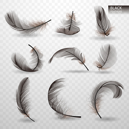Set of isolated falling black fluffy twirled feathers on transparent background in realistic style. Vector Illustration