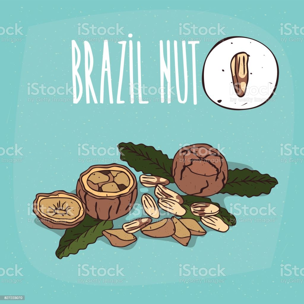 Set of isolated plant Brazil nut nuts herb vector art illustration