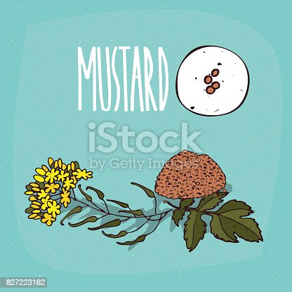 Rapeseed Flower Mustard plant Brassica oleracea, Mustard transparent  background PNG clipart   HiClipart