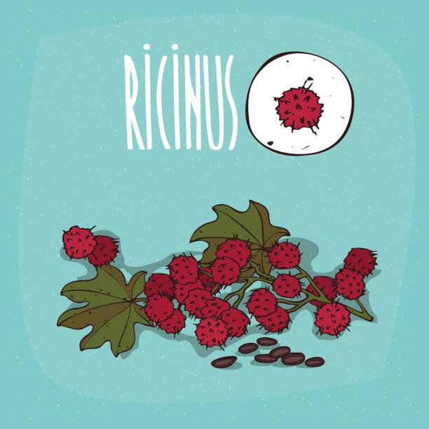satz von isolierten pflanze ricinus früchte kraut - wunderbaum stock-grafiken, -clipart, -cartoons und -symbole
