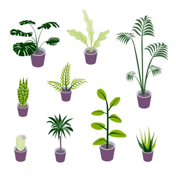 ilustrações de stock, clip art, desenhos animados e ícones de set of isometric potted plants illustrations for indoor design illustrations - angiospermas