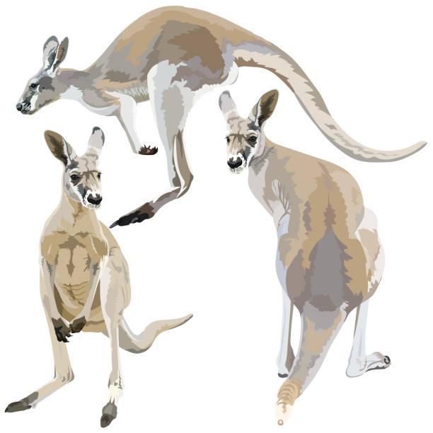 Set of kangaroos on  white Detailed vector illustration of a kangaroos on  white background kangaroo stock illustrations