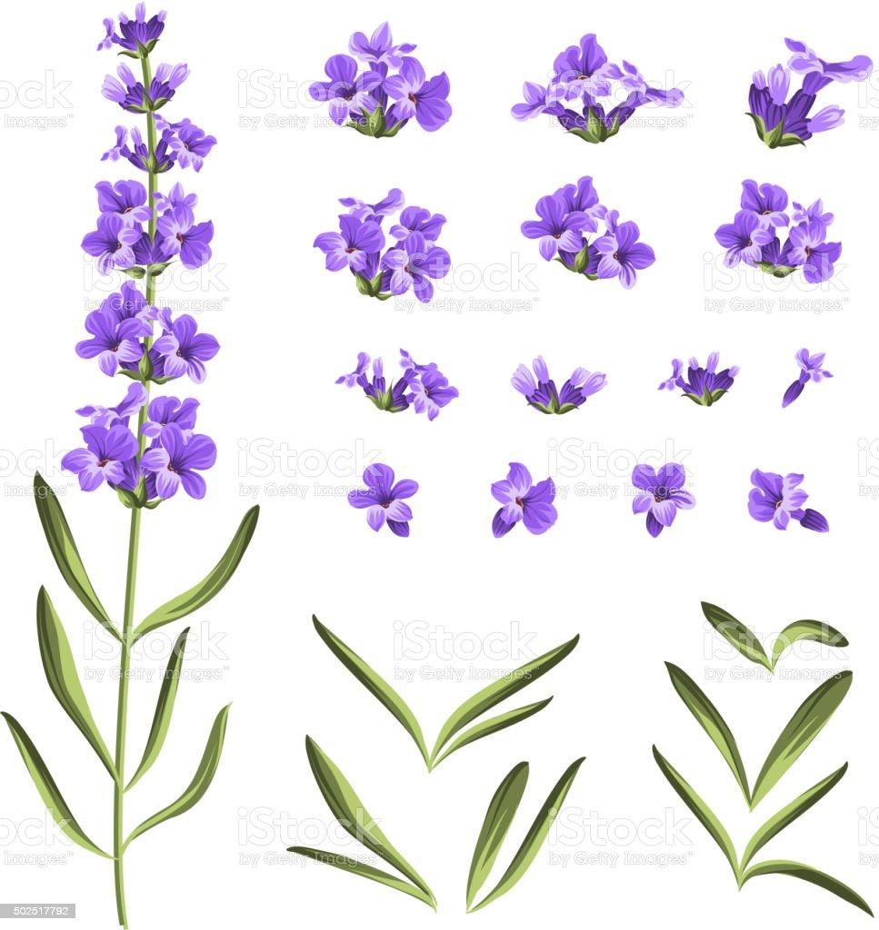 Set of lavender flowers elements vector art illustration