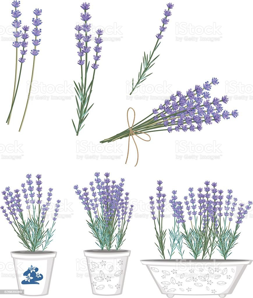 Set of lavender flowers vector art illustration