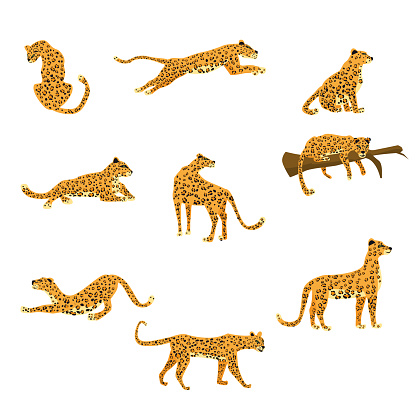 Set of leopards in various poses cute trend style, animal predator mammal, jungle. Vector illustration isolated on white background