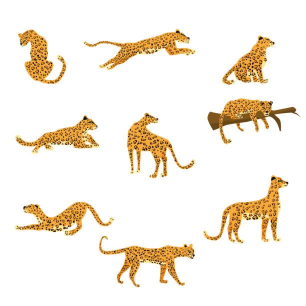 stockillustraties, clipart, cartoons en iconen met set van luipaarden in verschillende poses leuke trend stijl, dierlijk roofdier, jungle. vector illustratie geïsoleerd op witte achtergrond - jachtluipaard