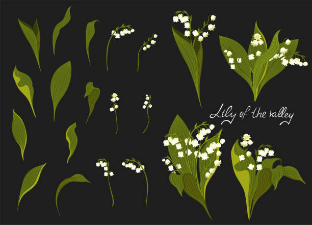 Set of lilies of the valley. Vector graphics. Set of lilies of the valley. Vector graphics. lily of the valley stock illustrations