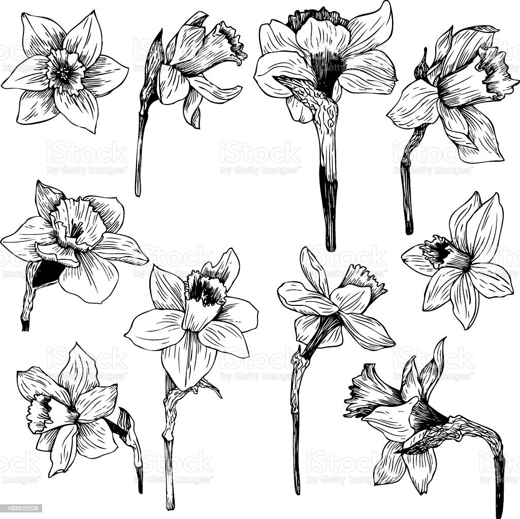 Set of line drawing narcissus vector art illustration