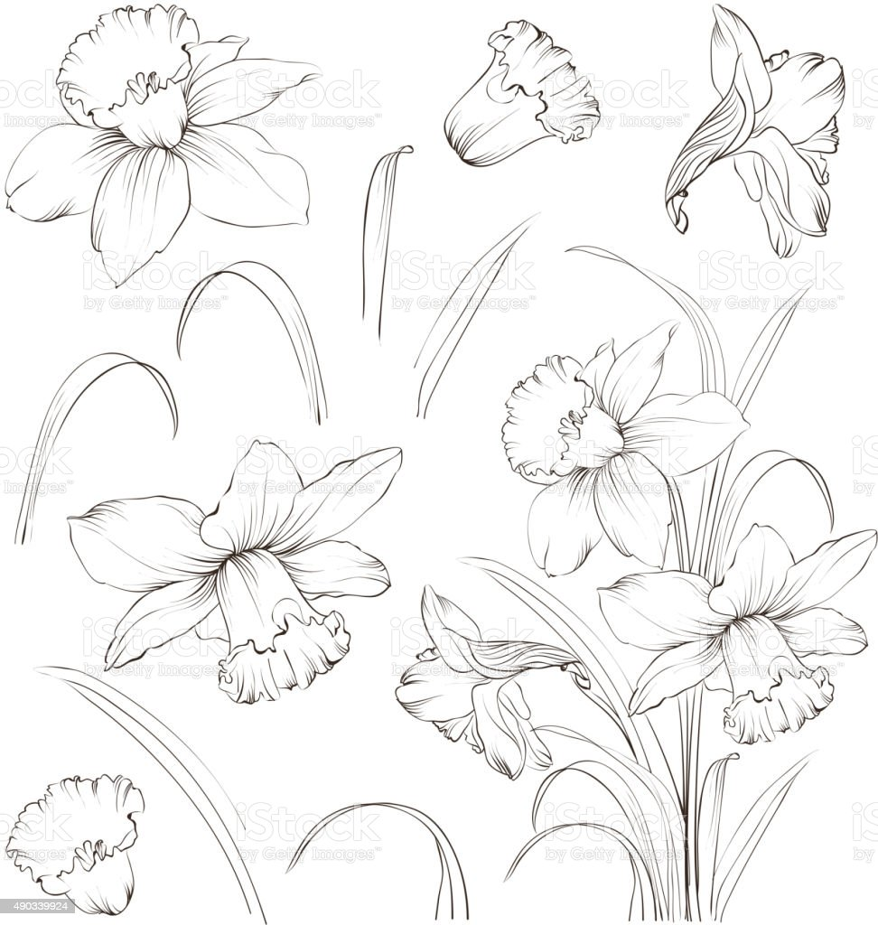 Set of line drawing narcissus, vector illustration vector art illustration