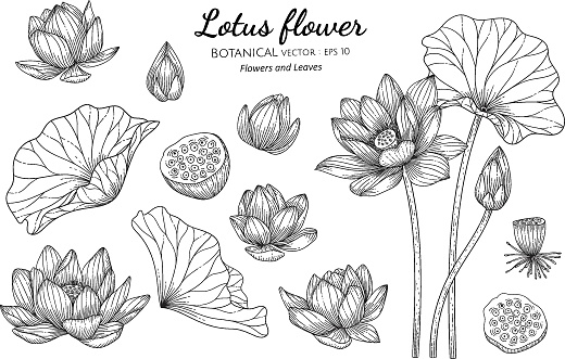 Set of Lotus flower and leaf hand drawn botanical illustration with line art on white backgrounds.