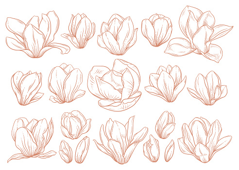 Set of magnolia flowers in sketch style on white background.