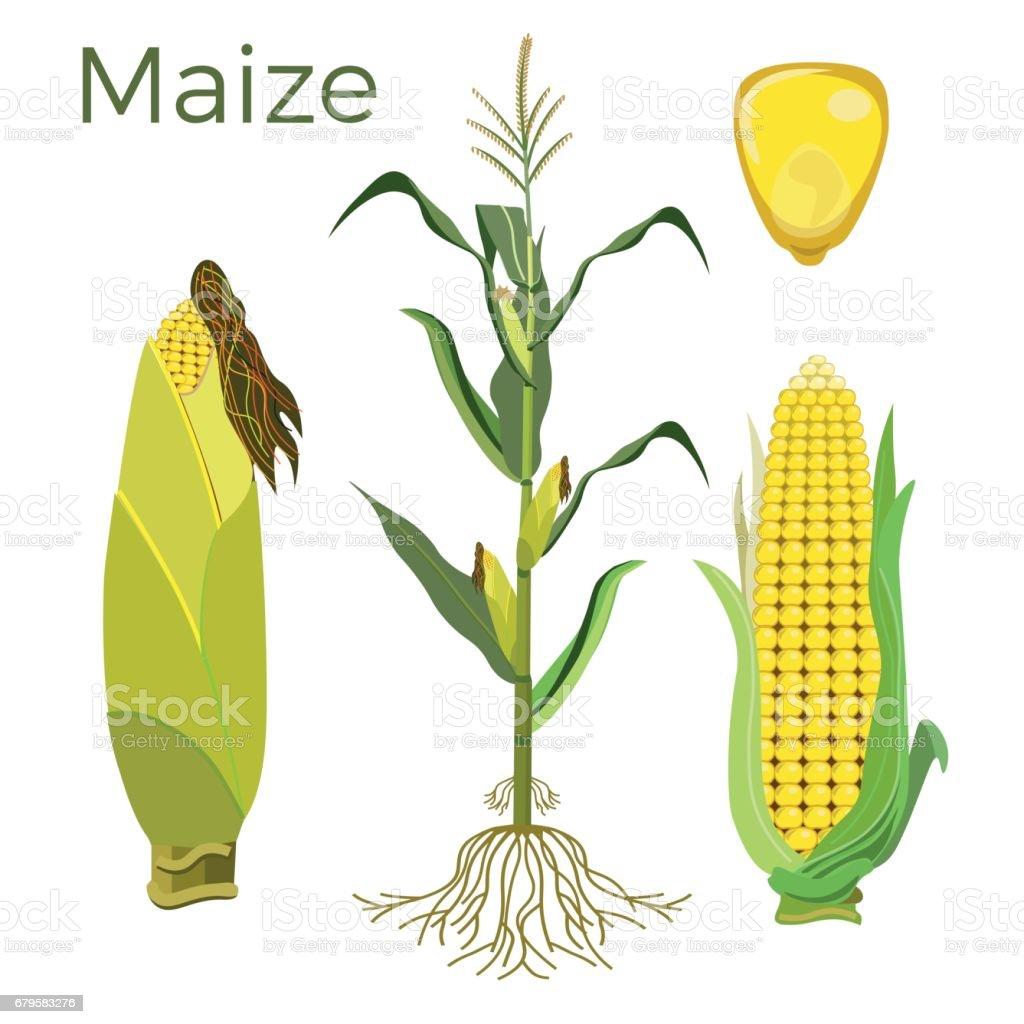 Set of maize plant vector art illustration