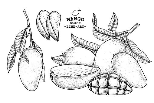 Set of mango fruit hand drawn elements botanical illustration