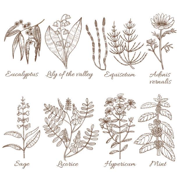 illustrazioni stock, clip art, cartoni animati e icone di tendenza di set of medicinal plants. collection in hand drawn style. vector illustration - liquirizia