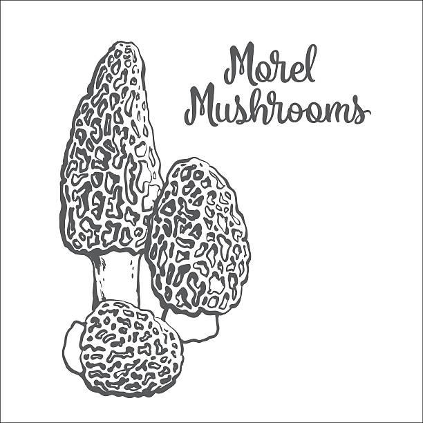 Best Morel Mushroom Illustrations, Royalty-Free Vector