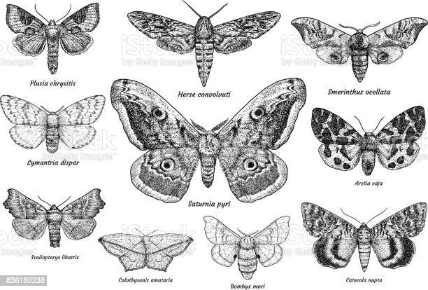 Set of moths and butterflies illustration drawing engraving ink line vector id836180238?b=1&k=6&m=836180238&s=612x612&h=h0pizuzscvid pp2tyszcwceyn8tee  4tufdxx0q3i=