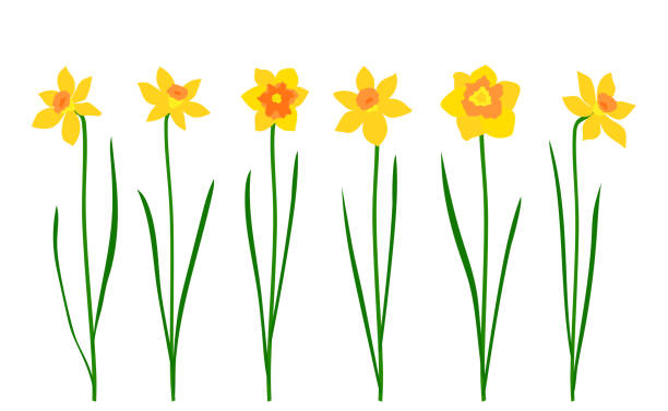 Set of narcissus isolated on white background. Vector illustration Set of narcissus isolated on white background. Vector illustration daffodil stock illustrations