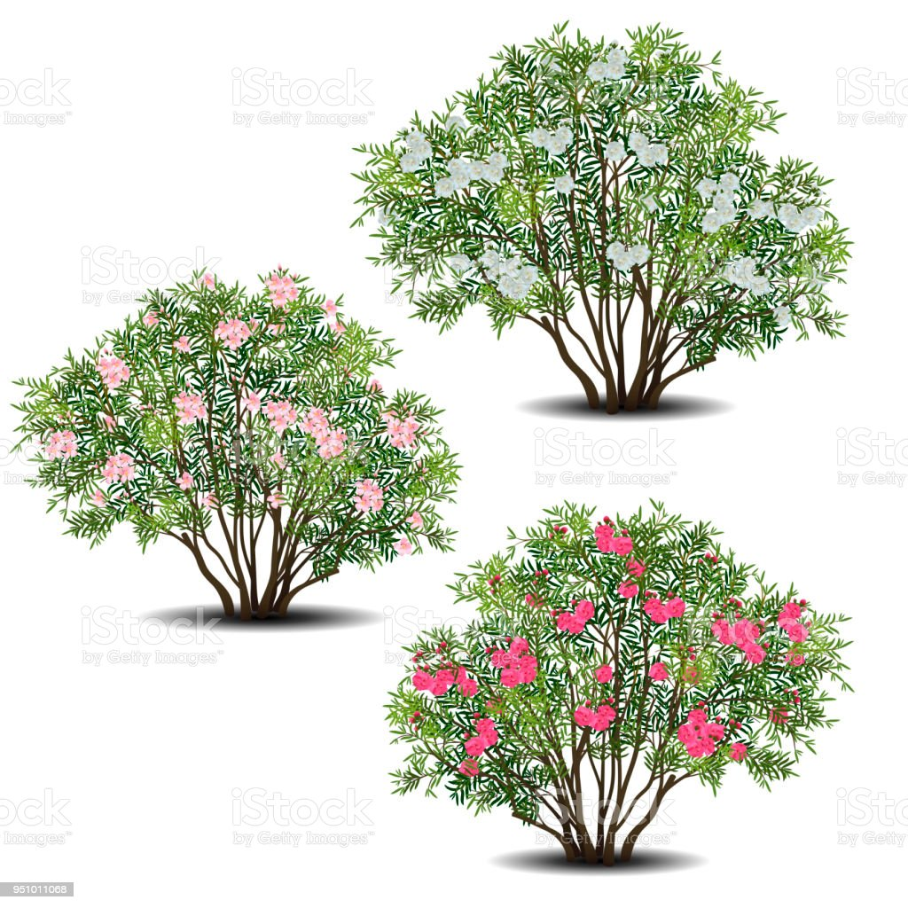 Set Of Nerium Oleander Bushes With Green Leaves And Flowers Stock