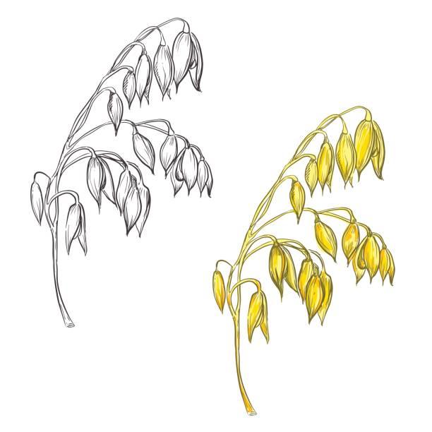 ilustrações de stock, clip art, desenhos animados e ícones de set of oat plant - ilustrações de oats