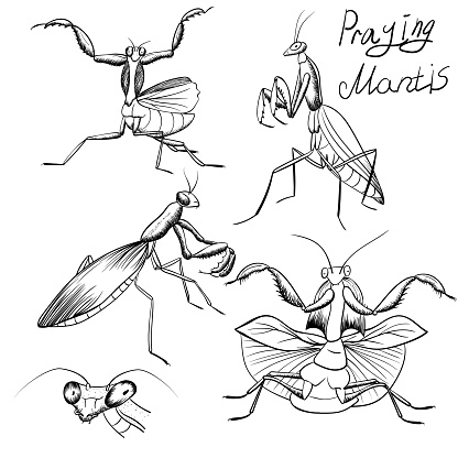 set of outline mantis insect sketches on white