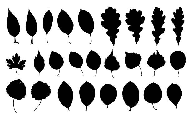 Set of park leaf silhouettes. Set of park leaf silhouettes. Black prints isolated on white background. Autumn leaf fall, eco design. image technique stock illustrations