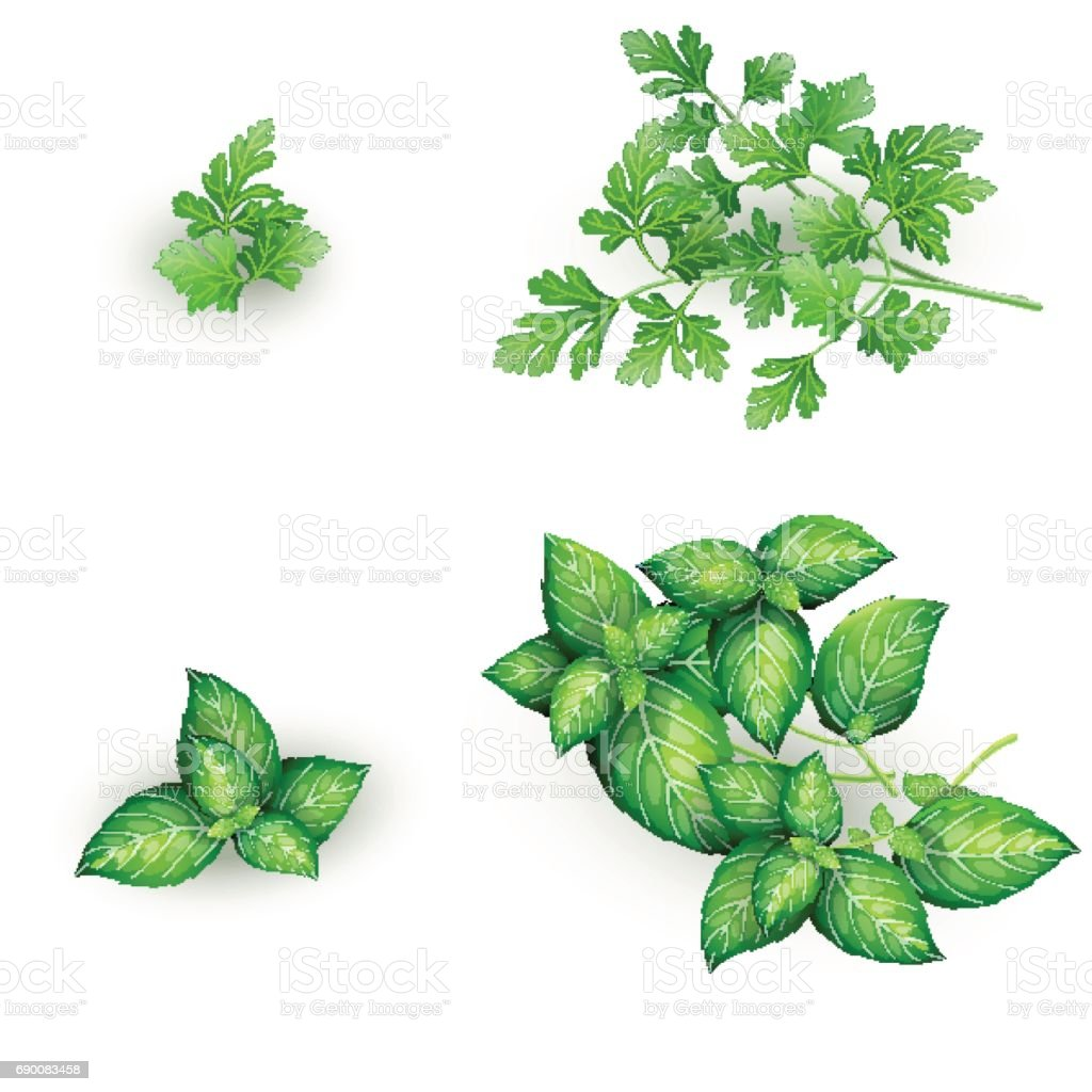 Set of parsley and mint in realistic style vector art illustration