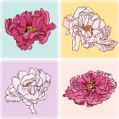 Set of four Peonies Greeting Card. Vector.