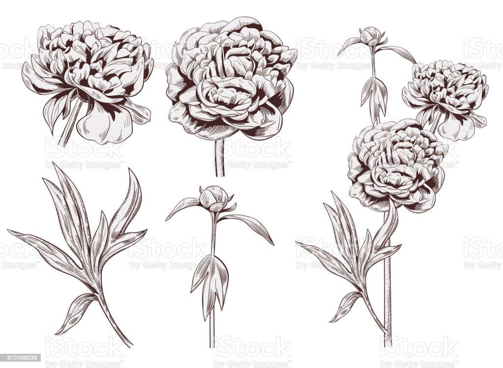 pfingstrose zeichnen blumen zeichnung, satz von pfingstrose braun monochrom blumen knospe stammt lässt auf, Design ideen