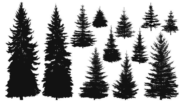 Set of Pine Trees Set of silhouettes of pine trees or fir trees, EPS 8. pine tree stock illustrations