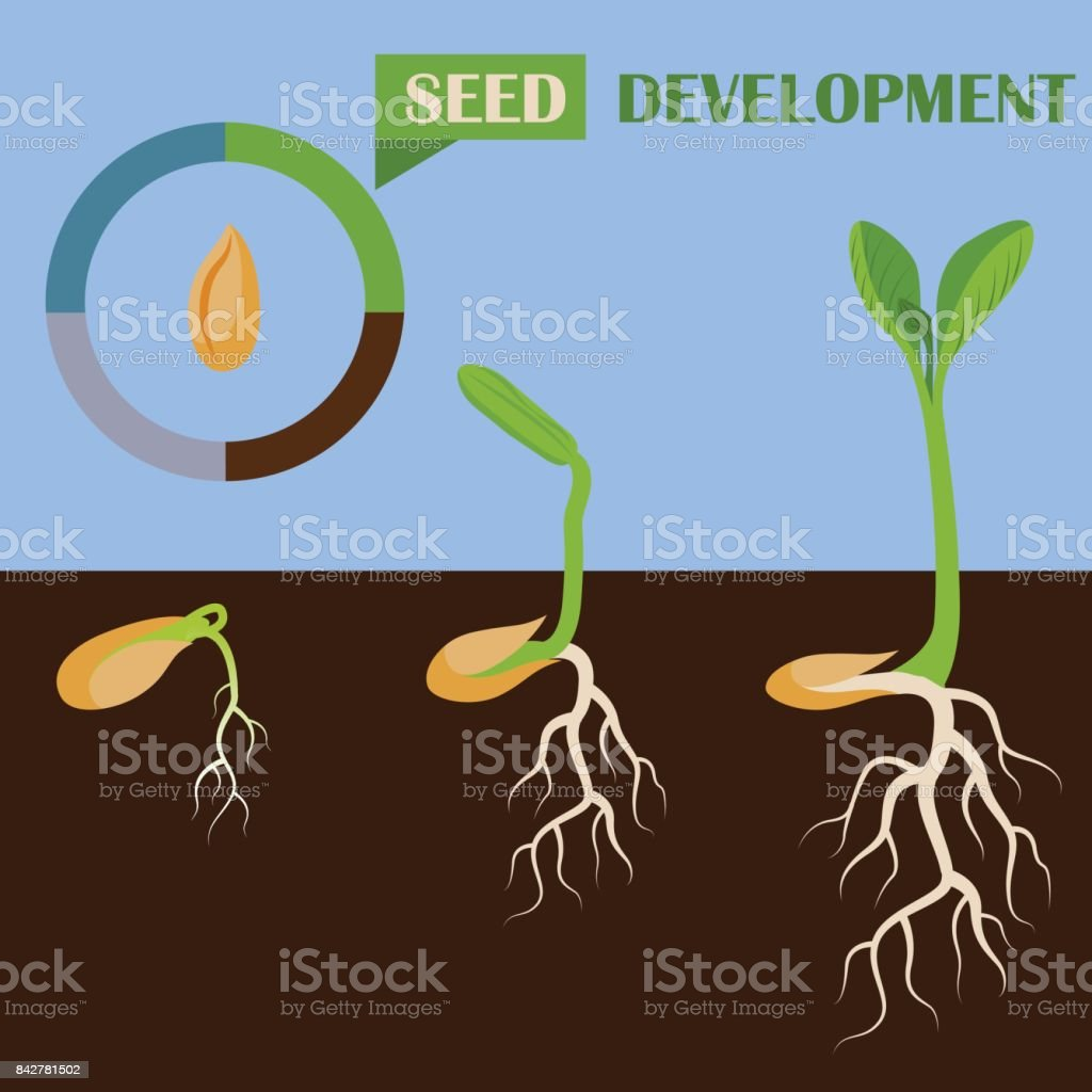 Set of plant seed development phases vector illustration vector art illustration