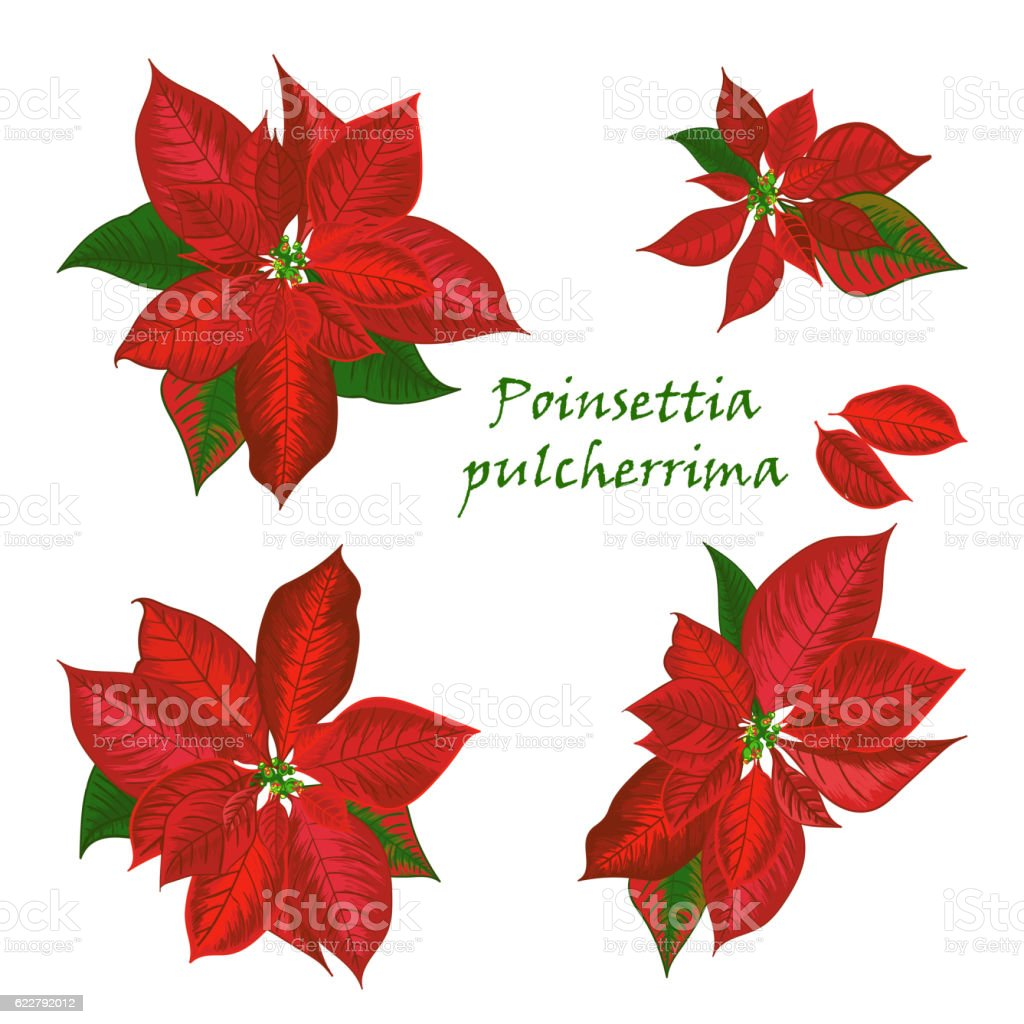 Set Of Poinsettia Flowers In Red Color stock vector art 622792012 ...