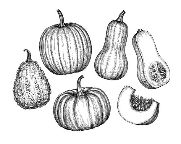 Set of pumpkins Collection of pumpkins. Ink sketch of butternut squash isolated on white background. Hand drawn vector illustration. Retro style. squash vegetable stock illustrations