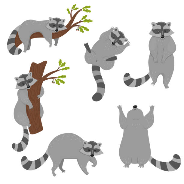 Set of raccoons isolated on a white background. Vector graphics. Set of raccoons isolated on a white background. Vector graphics. raccoon stock illustrations