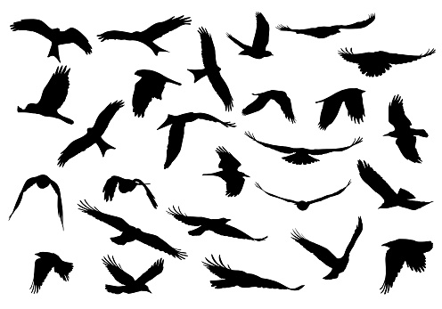 Set of realistic vector illustrations of silhouettes of flying birds of prey isolated on white background clipart