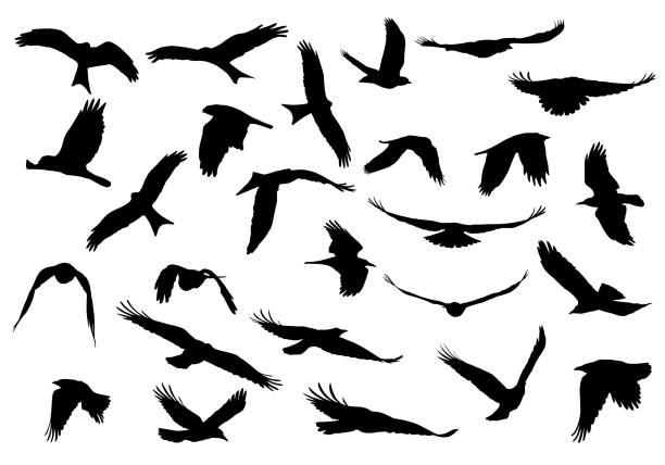 stockillustraties, clipart, cartoons en iconen met aantal realistische vectorillustraties van silhouetten van roofvogels geïsoleerd op een witte achtergrond te vliegen - vloog