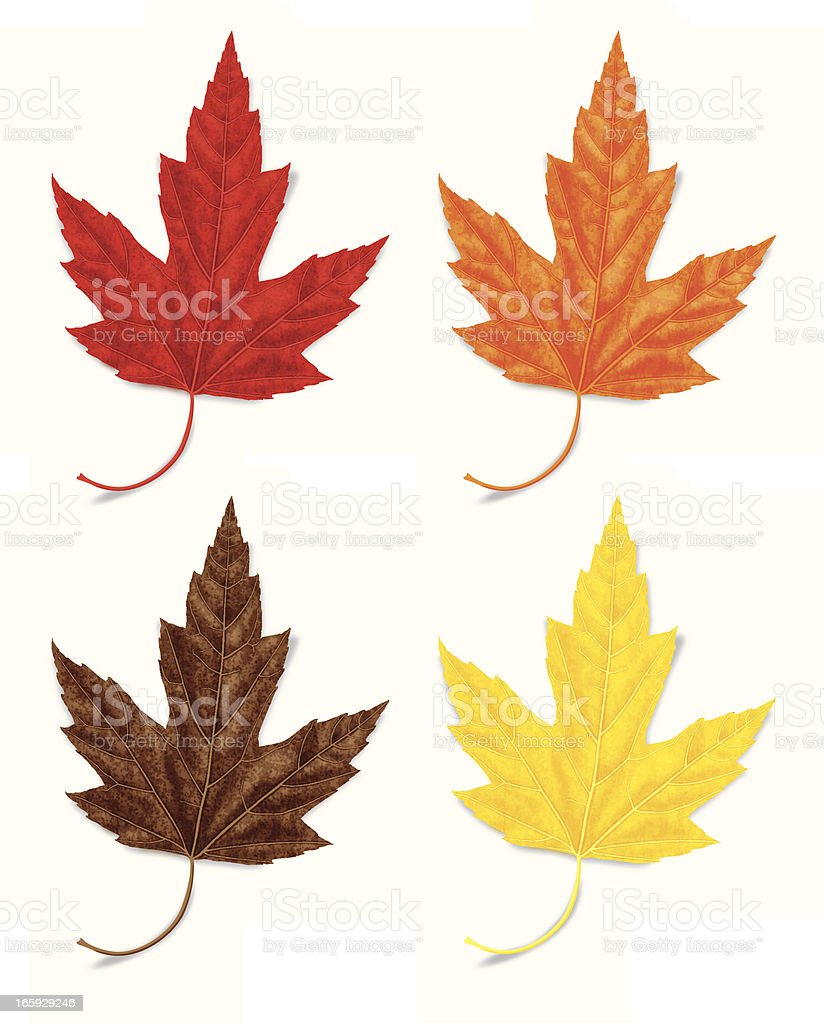 Set of Realistic Vector Maple Leaves in Four Colors royalty-free stock vector art